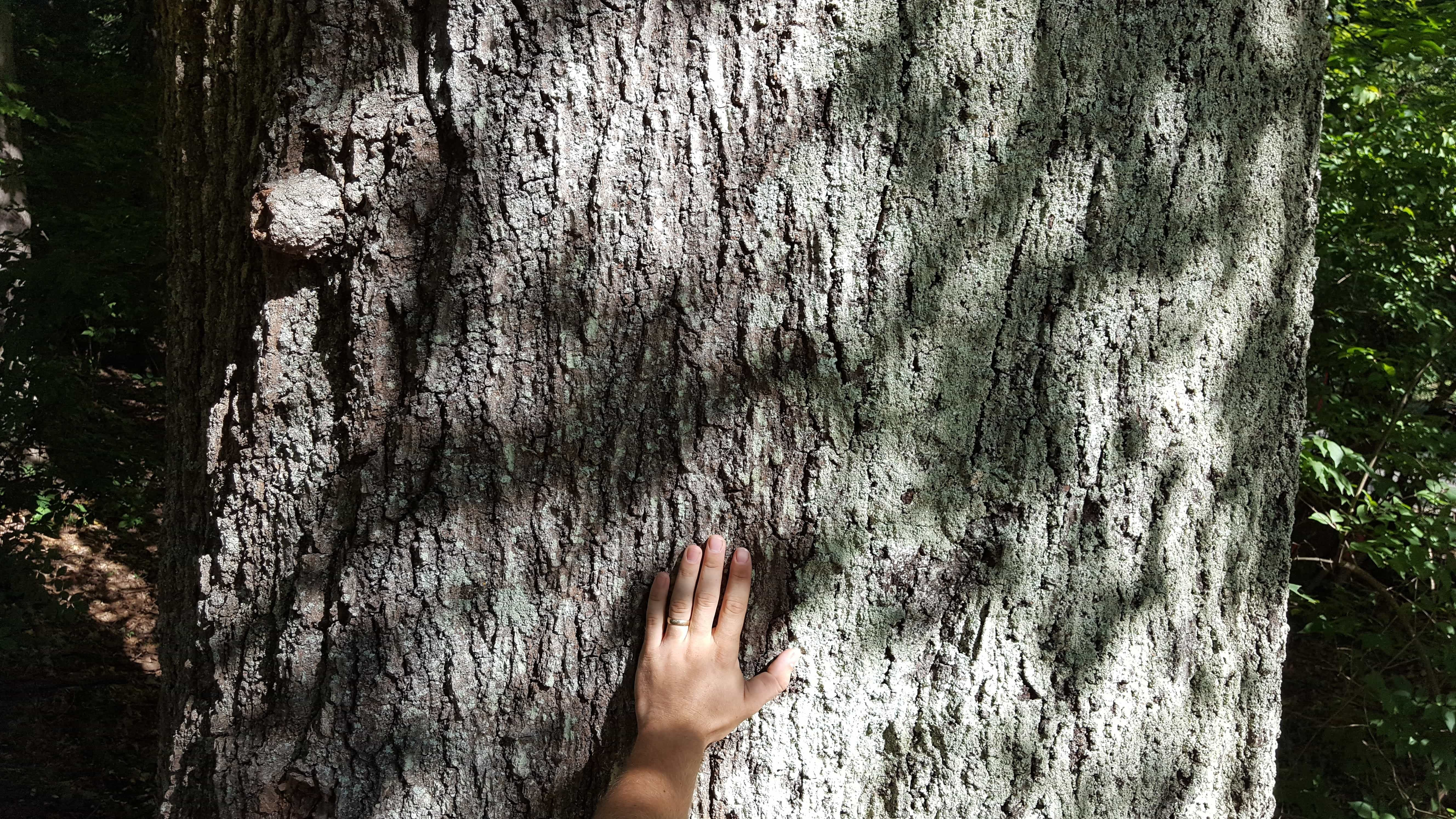 hand on massive tree