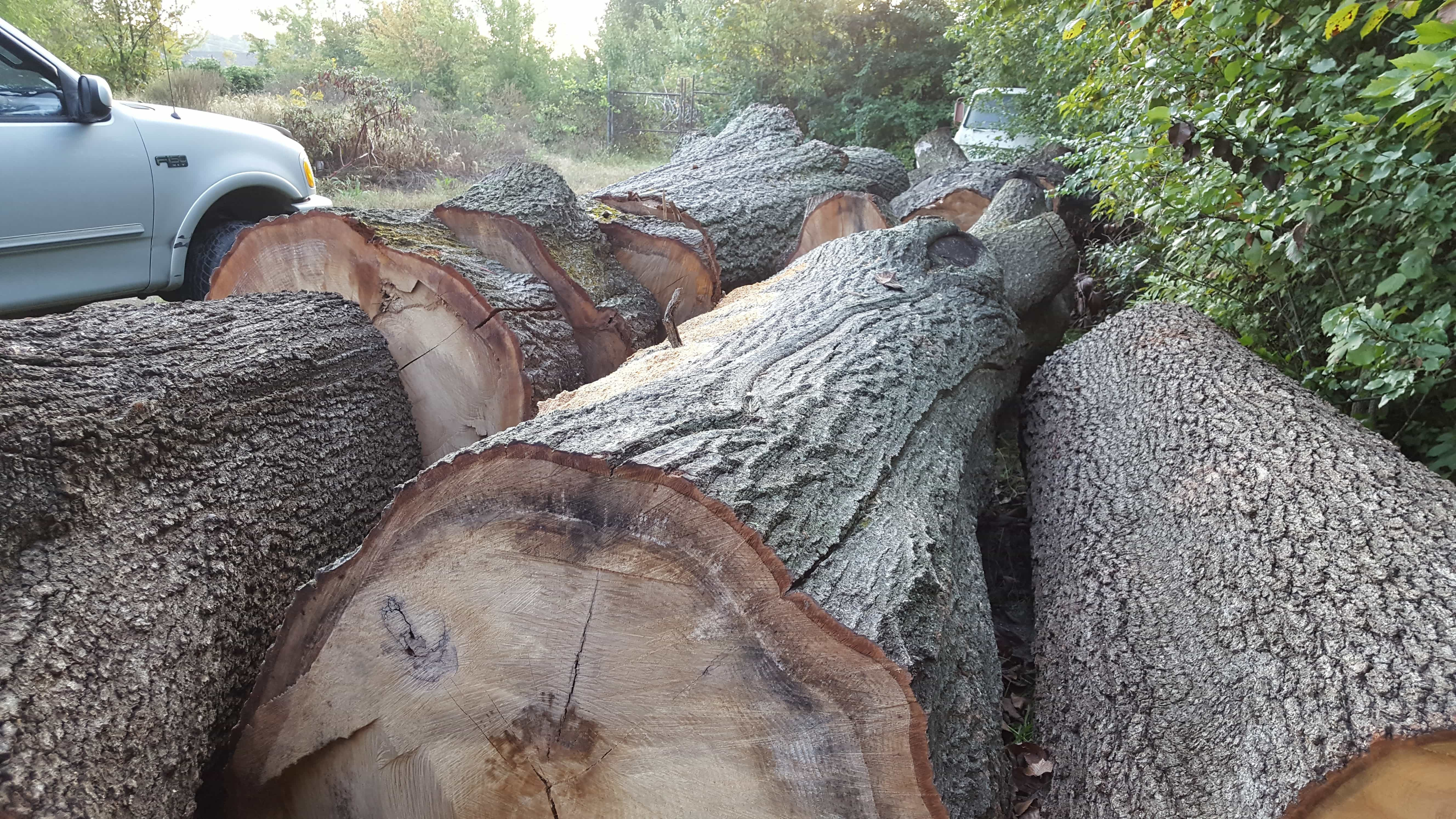 large trees cut down